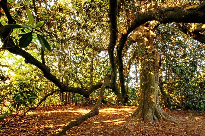Oldest Magnolia Tree In Arkansas In Old Washington Its Branches