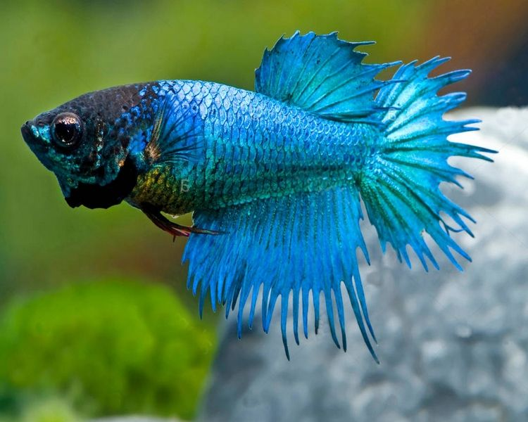Female Crown Tail Siamese Fighting Fish Large Siamese Fighting Fish Fish Siamese