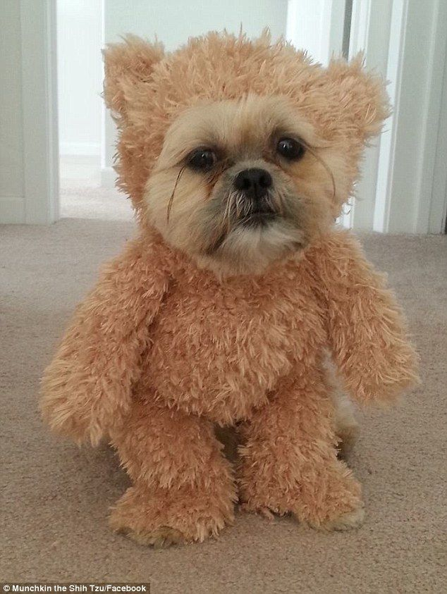 Munchkin the Shih Tzu melts hearts in fluffy plush toy outfit ...