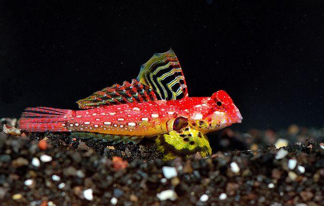 Ruby Red Scooter Blenny Marine Aquarium Best Aquarium Fish Marine Fish