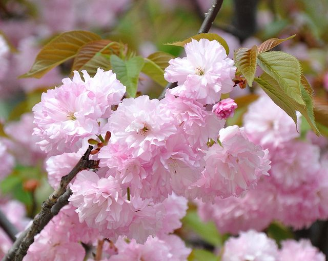 Japanese Flowering Trees Pictures Yahoo Search Results Flowering Cherry Tree Flowering Trees Japanese Flowering Cherry