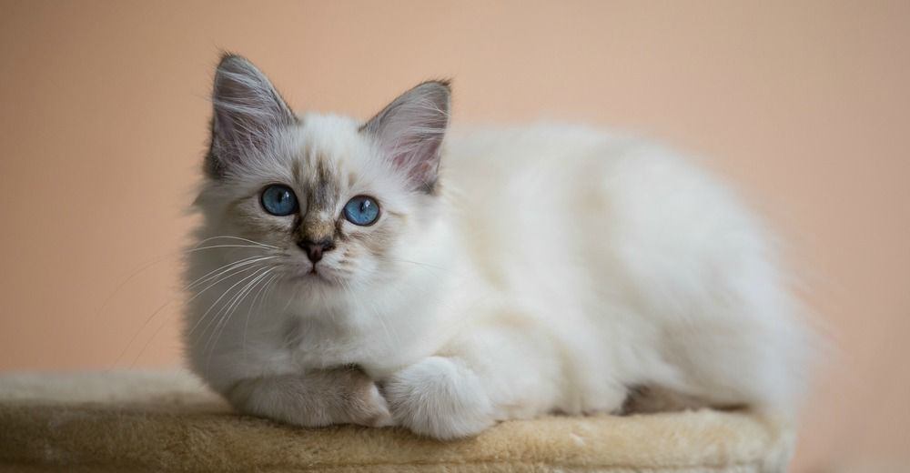 What Breed Of Cat Should You Get With Images Cat Breeds Birman Cat Popular Cat Breeds