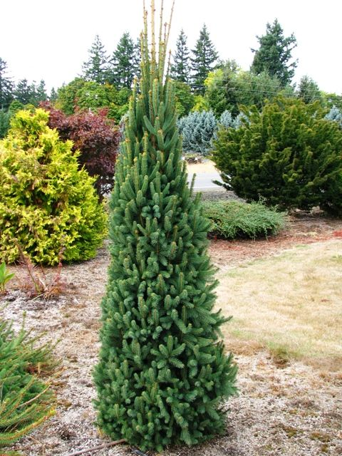Picea Abies Cupressina Landscaping Trees Garden Trees
