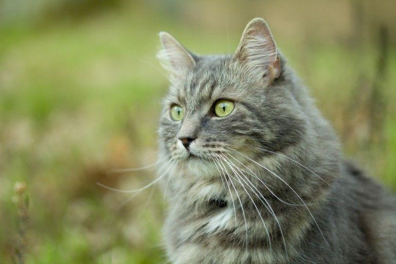 アレルギーの出にくい猫として有名なサイベリアン 猫アレルギー持ちでも サイベリアンは飼うことができるという人がいます 犬のように人懐っこく従順な性格で 初めて猫を飼う方にもおすすめです 今回はそんなサイベリアンの特徴をまとめました シベリア猫