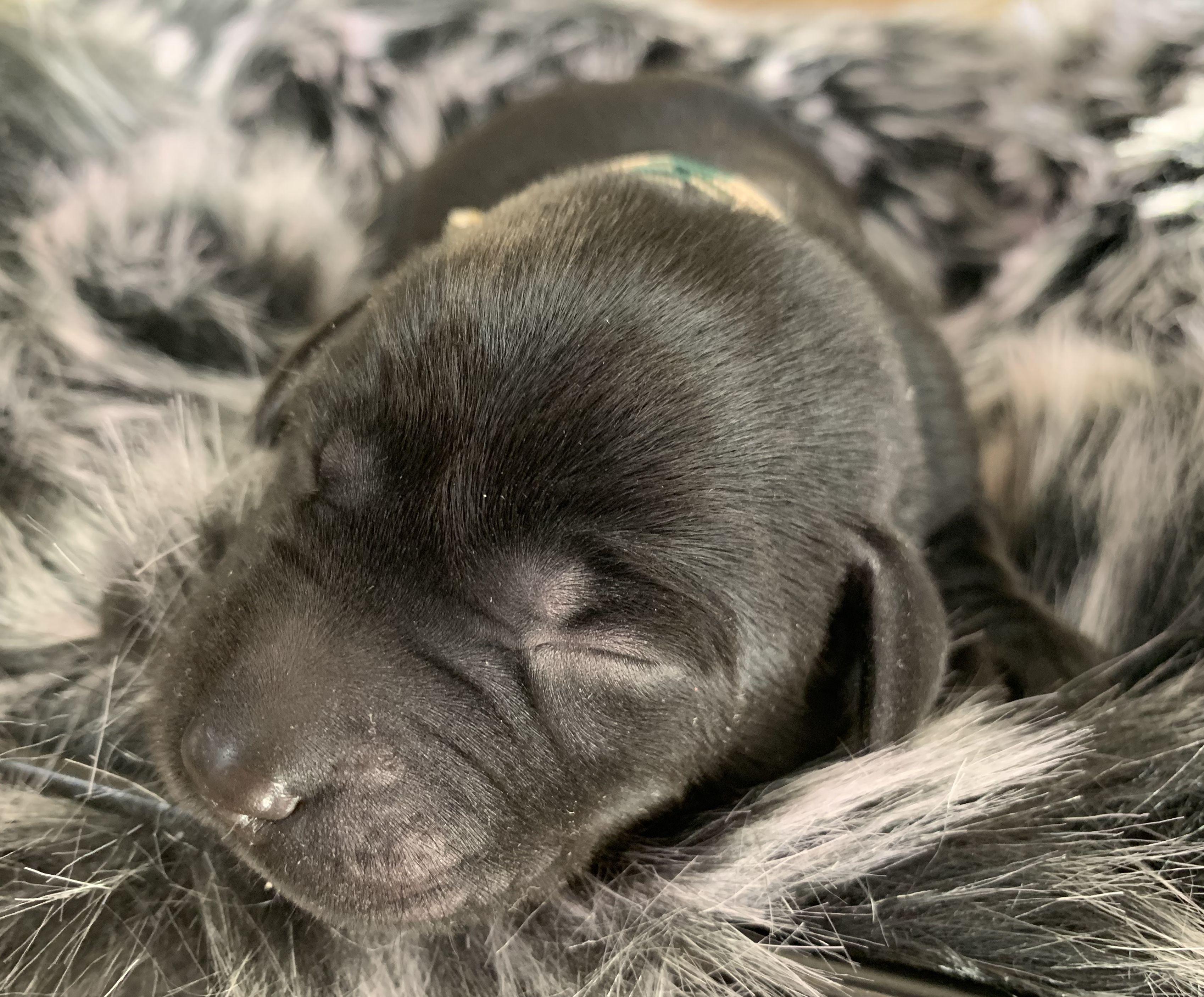 Black Puppy In 2020 Labrador Retriever Puppies Labrador Retriever Black Puppy