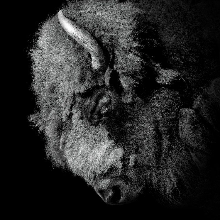 Buffalo in black white by lukas holas is printed with premium inks for brilliant color and then hand stretched over museum quality stretcher bars