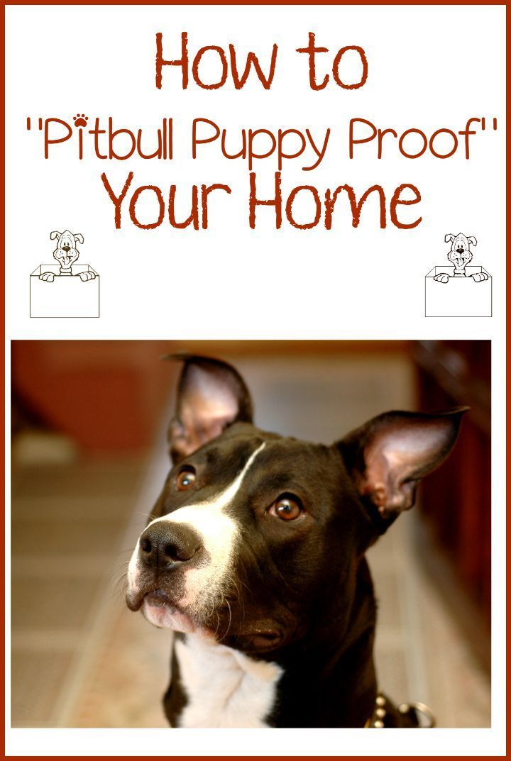 Pitbull Puppy Training Tips Dog Proofing Your Home Dog