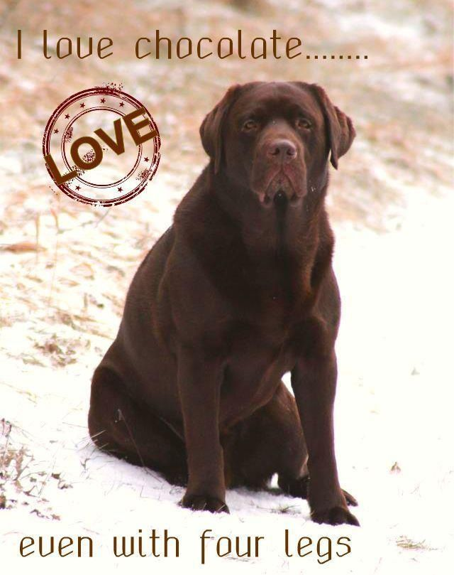 Pin By Cathy Hines Williford On Cathy Chocolate Lab I Love Dogs Puppy Training