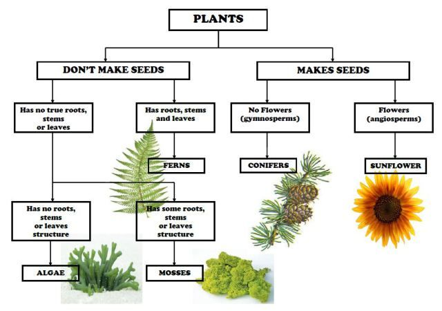 Plant Classification Chart Cultural - Biology, zoology Plant