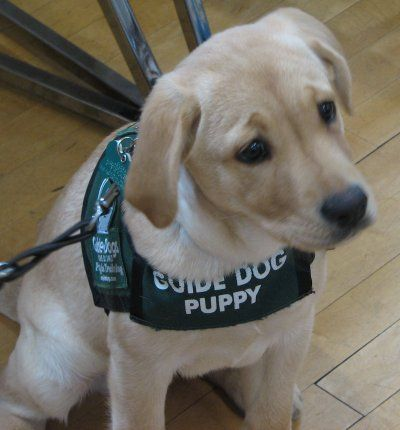Attacks On Guides Dogs Not By Labrador Retriever Guide Dogs