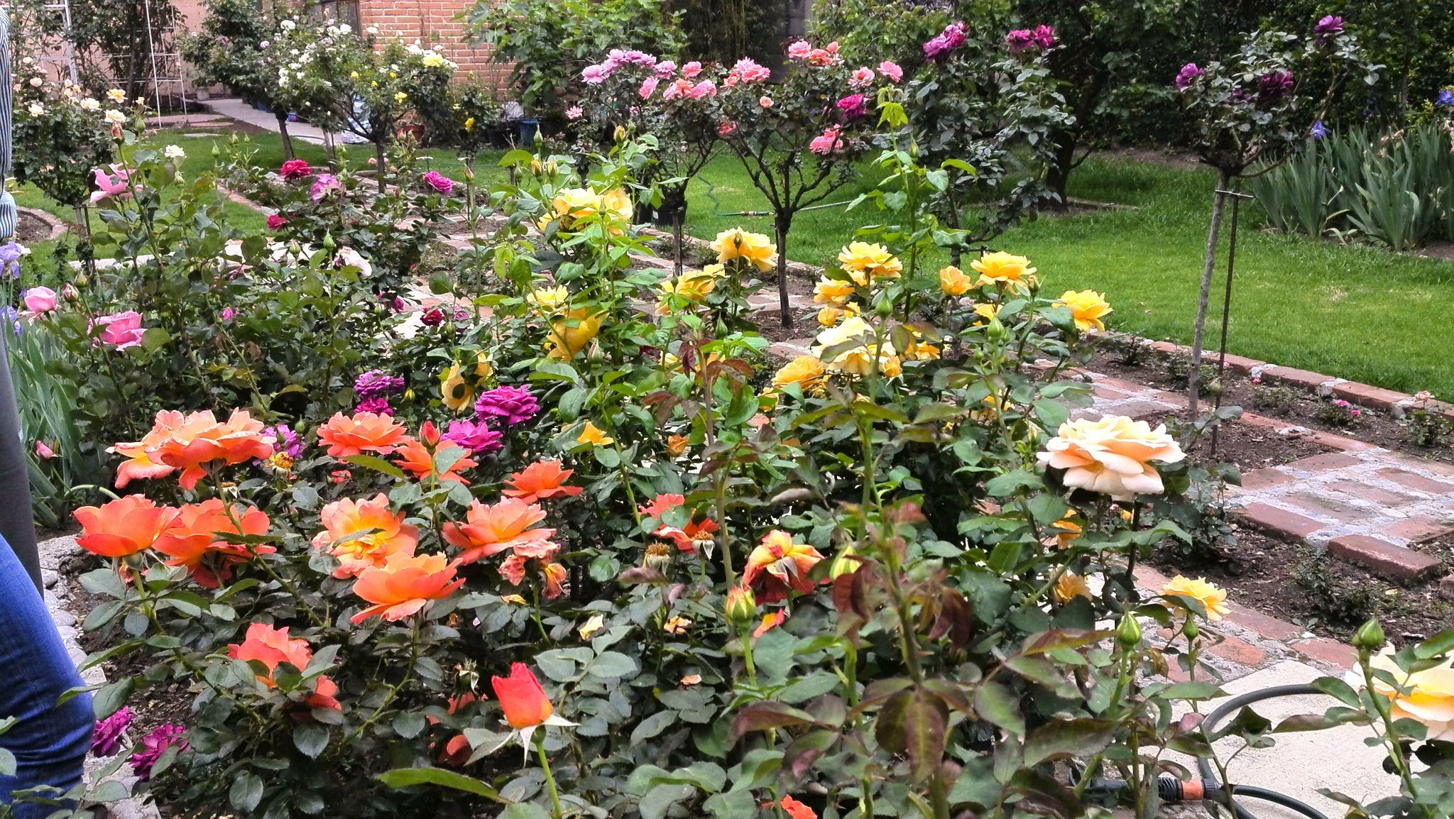 Living Easy And Easy Going Floribunda Roses In Méx. R. G.