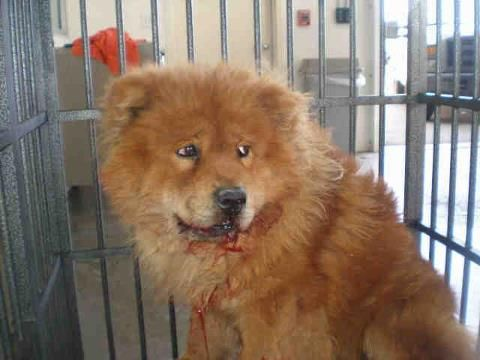 I Hate Dog Breeders Shared Chows In Need S Photo Hi Kill