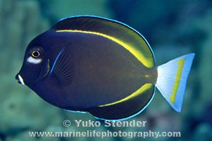 Whitecheek Surgeonfish Acanthurus Nigricans Saltwater Fish Tanks Colorful Fish Ocean Creatures