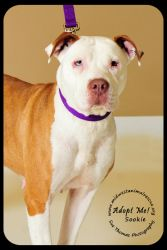 Sookie Foster Needed Is An Adoptable American Staffordshire Terrier Dog In Minneapolis Mn A Dog Adoption American Staffordshire Terrier Dogs Up For Adoption