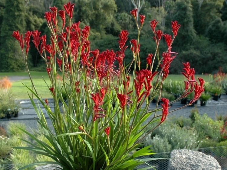 ANIGOZANTHUS FLAVIDUS- Pata de canguro(rojo) | Jardín australiano, Pata de canguro, Flores de verano