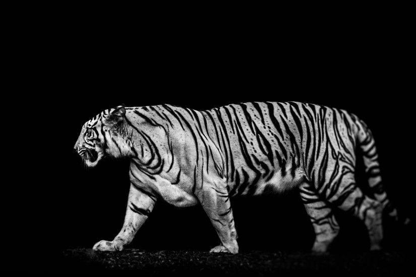 Wallpaper Wiki White Tiger Photo Download Free Pic Tiger Wallpaper Tiger Pictures White Tiger Pictures