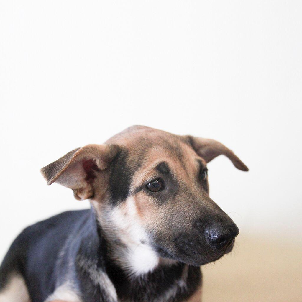Mandy The Adoptable 14 Week Old Shepherd Labrador With Images Labrador Animals Shepherd