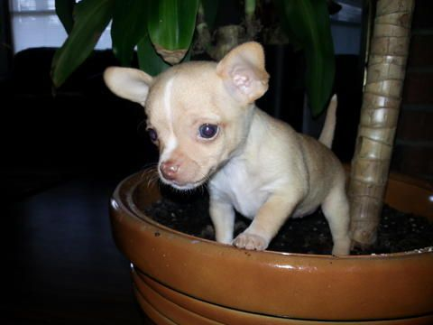 Chihuahua puppies  | Pets Dogs in Spartanburg SC USA - Iwanna | Dogs