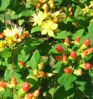 hypericum inodorum elstead ou millepertuis arbustif fruits pot 3l 20 40cm arbustes arbres. Black Bedroom Furniture Sets. Home Design Ideas