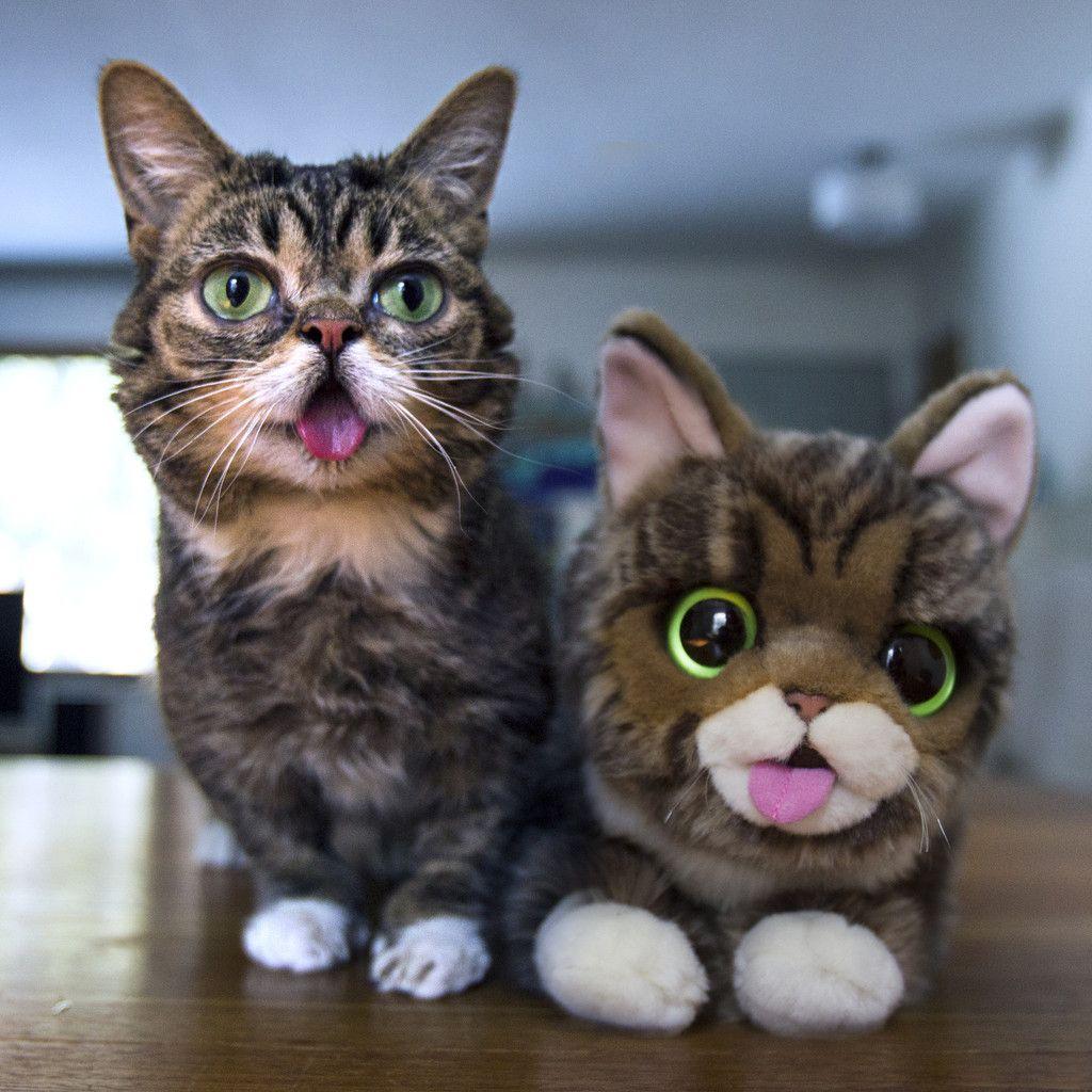 был кошки похожие на игрушку фото правило, его принимают