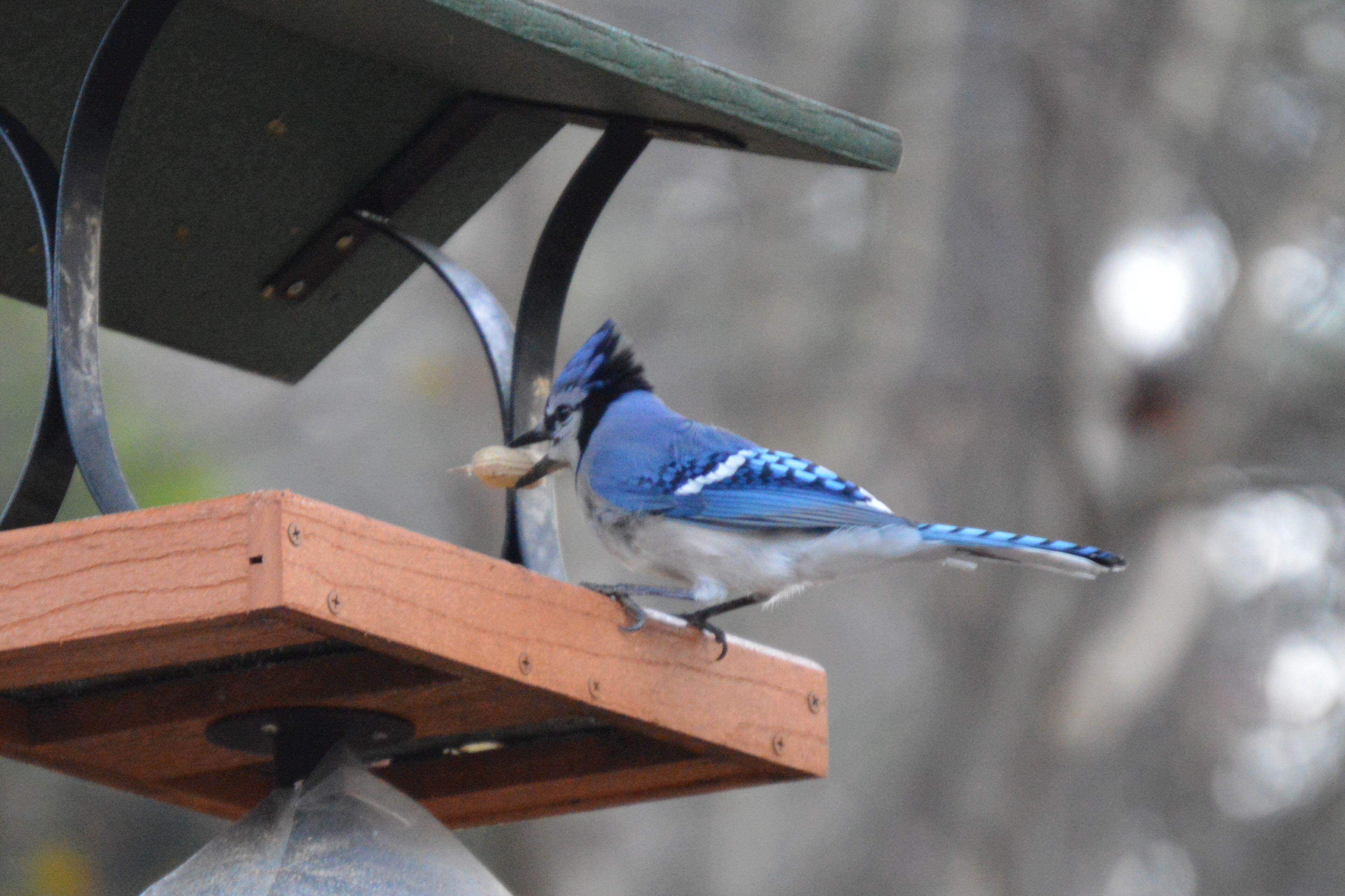 backyard bird feeding tip keep the blue jays away from the