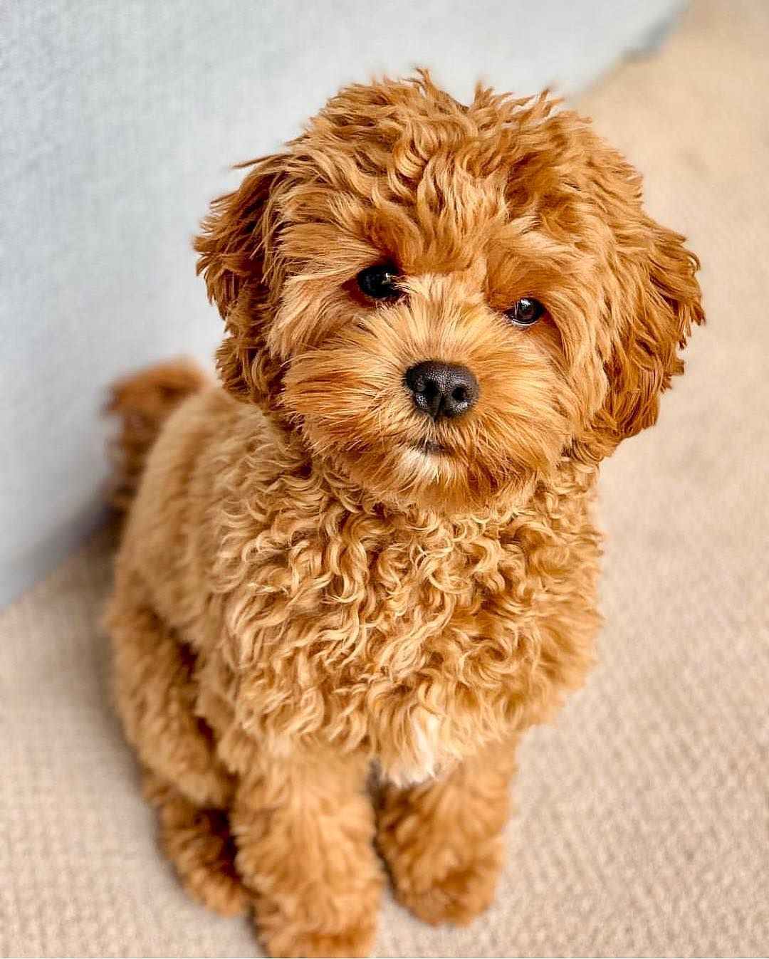 Spotlighting Cavapoos/Cavoodles and Cavapoo/Cavoodle mixes