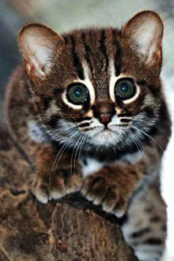 14 RAREST Cat Breeds In Thе World! Chеck out thе rarеst