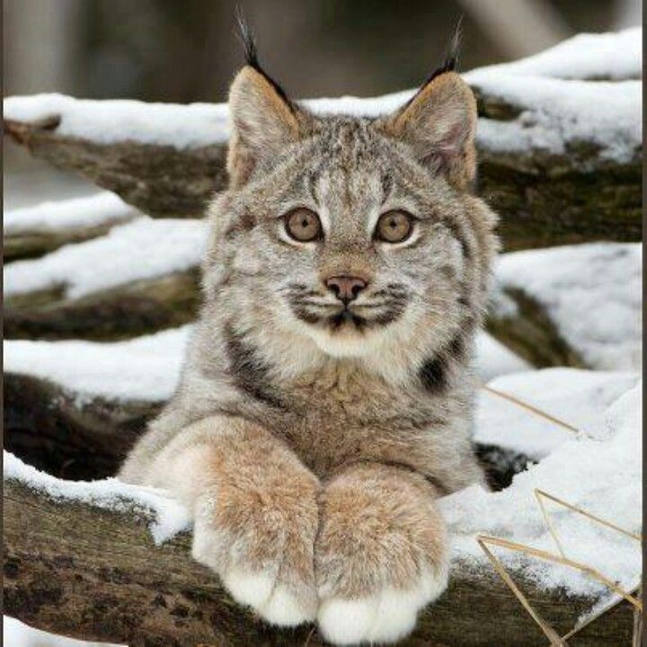 Love this paws. Canadian Lynx