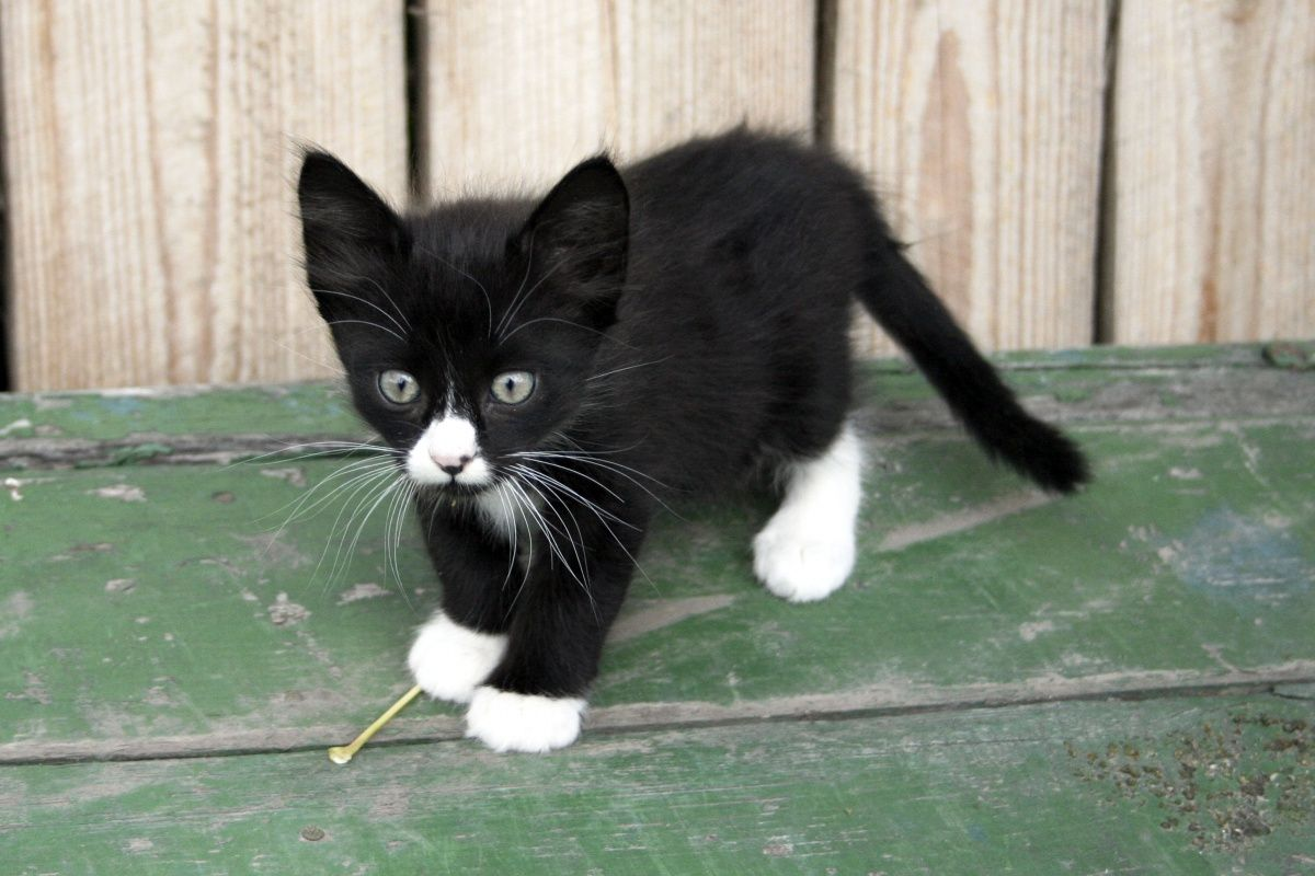 Black Kitten with White Paws Click here to stop your cats