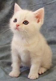 White American Shorthair Kitten American Shorthair Cat American