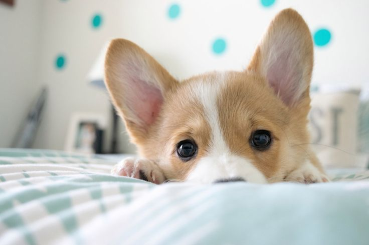These 30 Steps Will Teach You How To Be As Confident As A Corgi