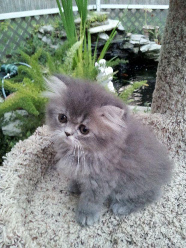 Blue Tabby Doll Face Female Persian Sold Liz Top Cat Persian Cat Doll Face Persian Kittens Persian Cat