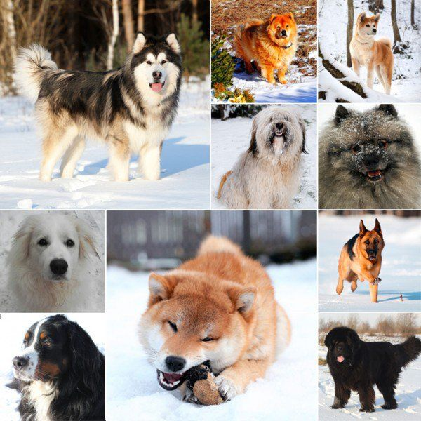 If You Live In The Mountains Or Are Looking For A Furry Friend To Keep Warm These Best Dog Breeds Cold Weather Climates