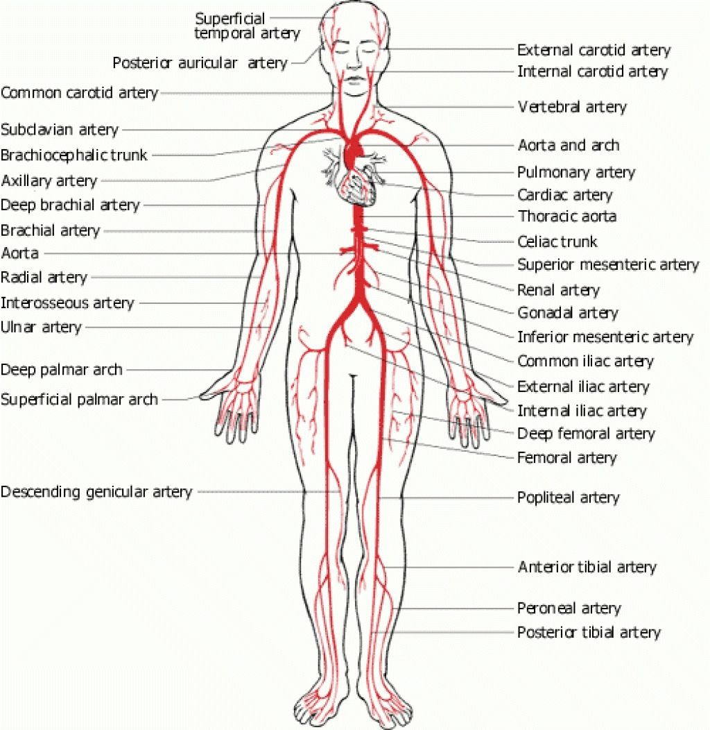 medium resolution of full human body diagram full human body diagram human body diagram diagram of arteries throughout body