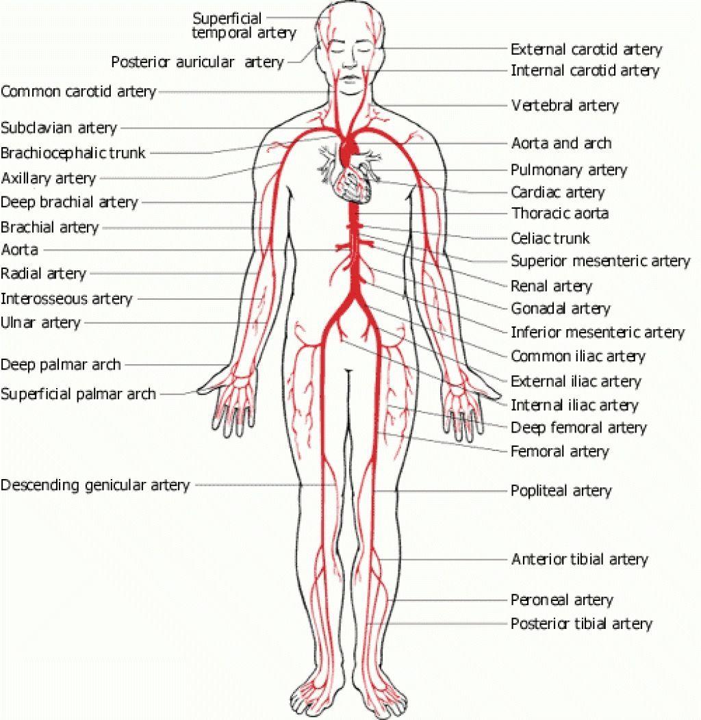 Full Human Body Diagram Human Anatomy Drawing Pinterest