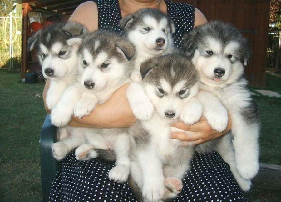 Siberian husky mix puppies for sale in pa mixed breed: a ...