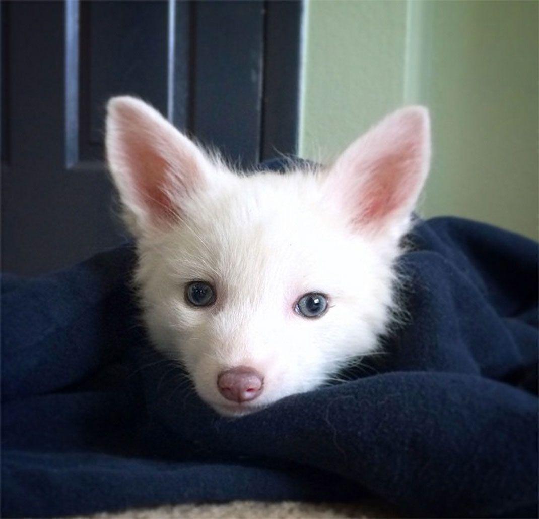 Laissez Vous Attendrir Par Rylai Un Adorable Petit Renard Blanc Qui Partage Une Amitie Etonnante Avec Deux Chiens Pet Fox Pink Champagne Fox Animals