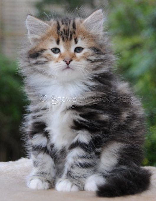 Brown Classic Tabby And White Siberian Kitten Snowgum Siberians