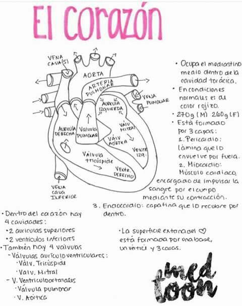 anatomía del corazón   Med Toon   Pinterest   Anatomía del corazón ...