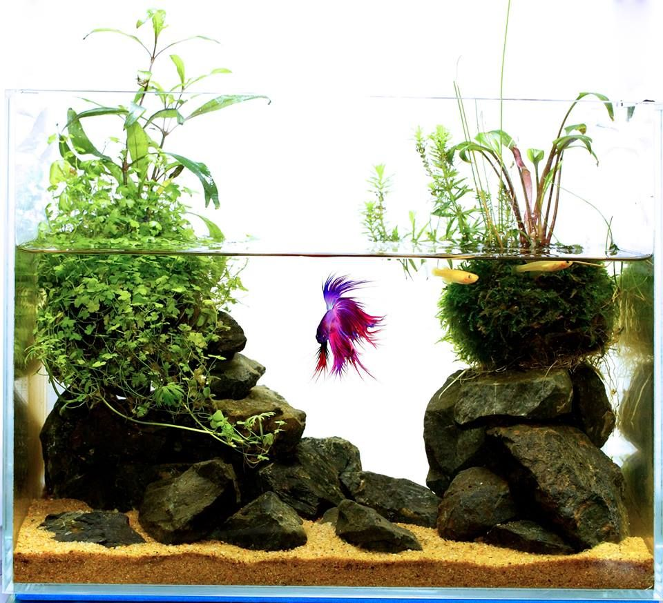 Possibly The Best Betta Home You See Today Betta Aquarium Kampffisch Aquarium Fische