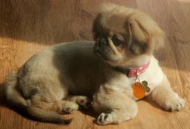 Pekingese Pekingese Puppies For Sale Pekingese Pekingese Dogs