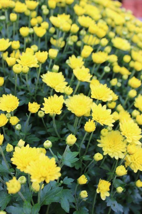 Wunderschöne Chrysanthemen in allen Größen & Farben!