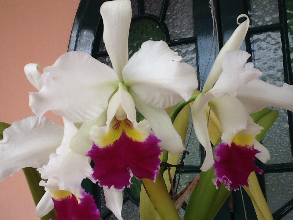 Minha orquídea!!!!! Linda....