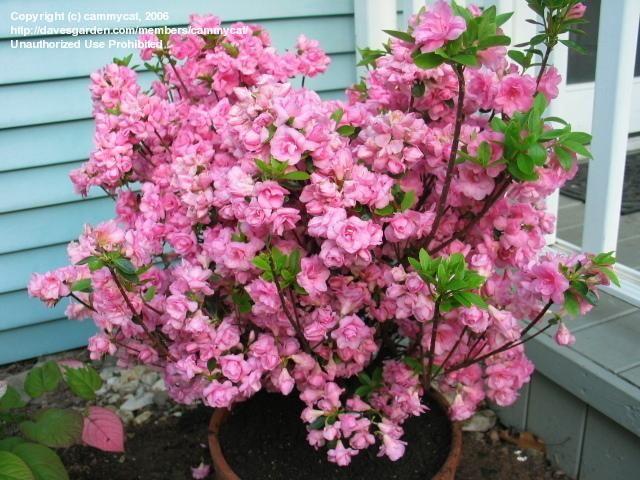 Plantfiles Picture 4 Of Azalea Rosebud Rhododendron Shade Plants Plants Plant Zones