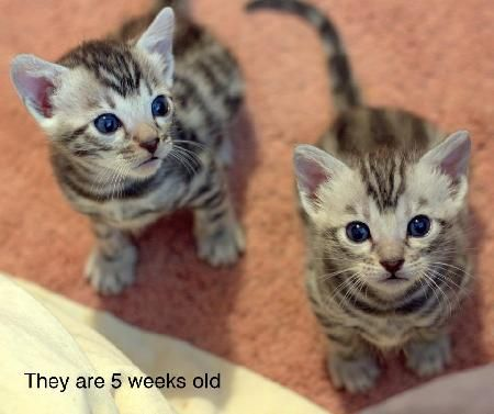 Bengal Cat Kitten For Sale In Perth And Kinross United Kingdom Bengal Cat Kitten Bengal Cat Kitten For Sale