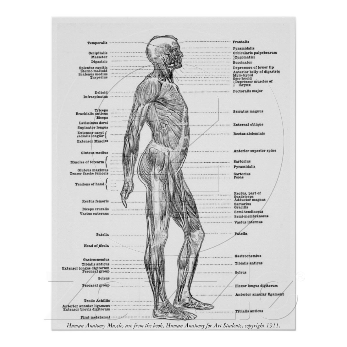 Poster Cru - muscles humains d\'anatomie | Muscles