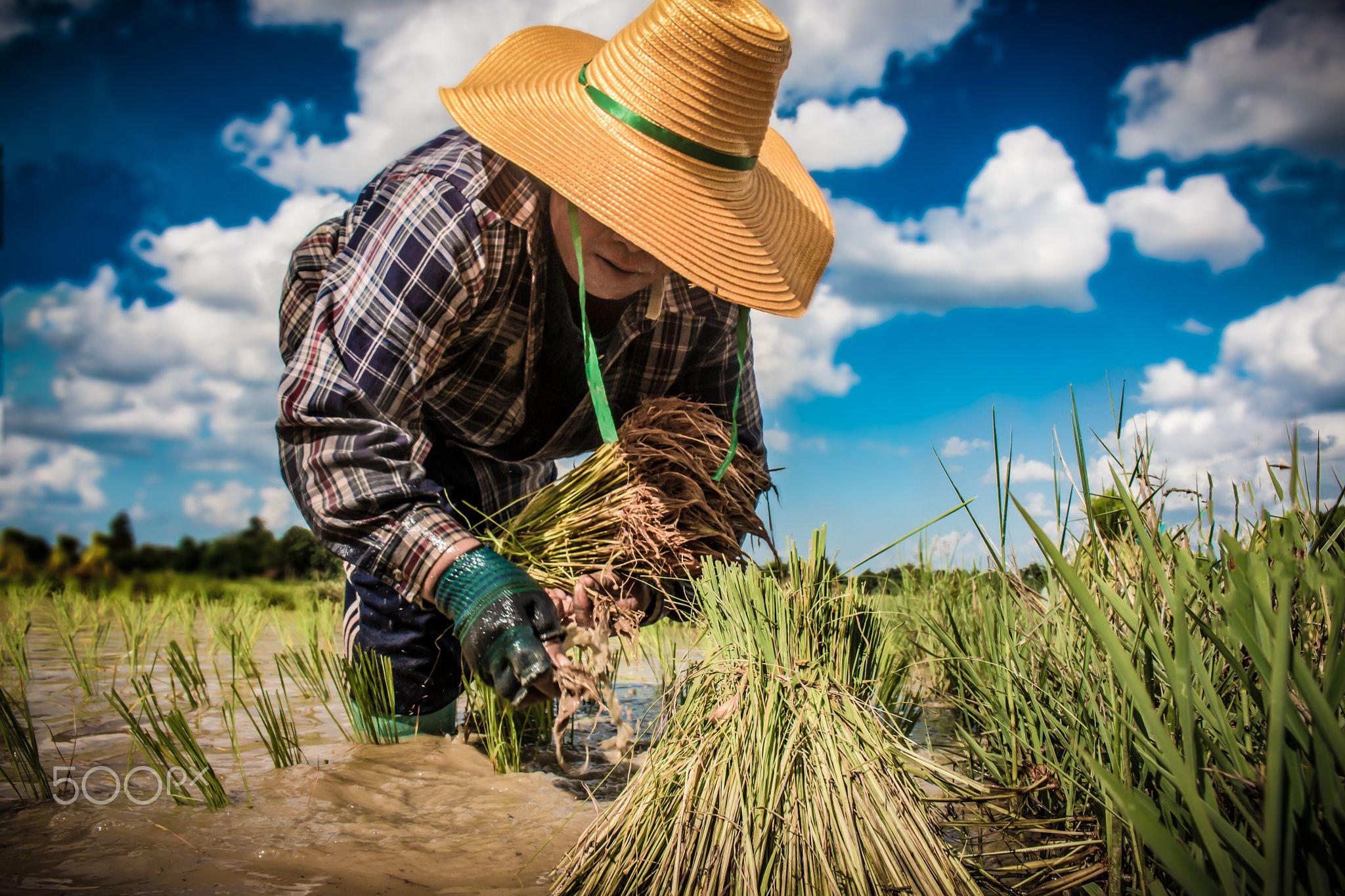 Thai Farmer Today - Thai Farmer growing rice with hand