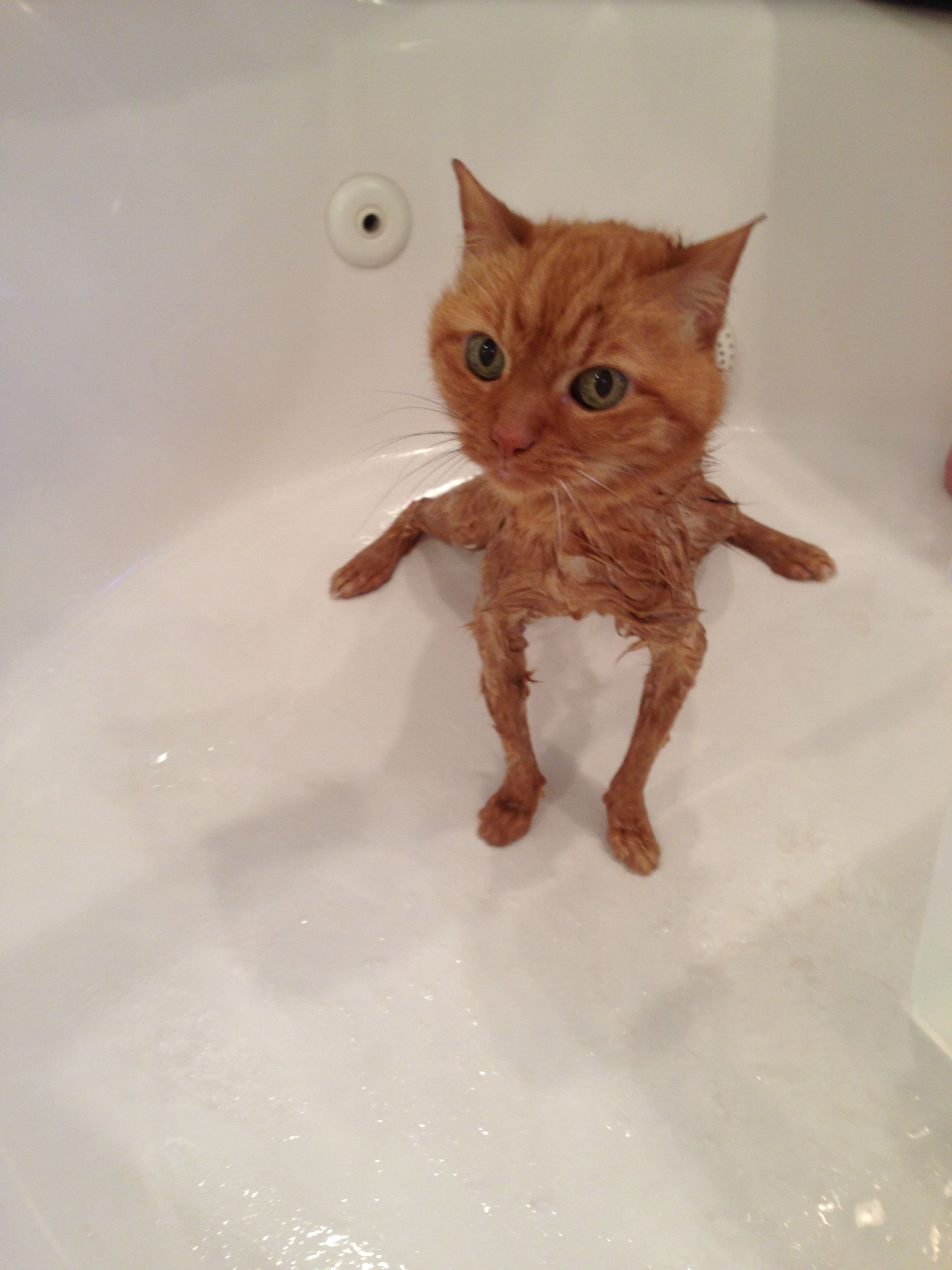 This Funny Cat Picture Was Not Altered In Any Way Whiskers Our Orange Tabby Getting A Bath Funny Cute Cats Funny Cat Pictures Cute Funny Animals