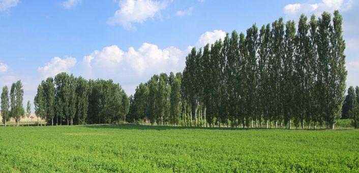 frysville farms hybrid poplars garden flowers and plants