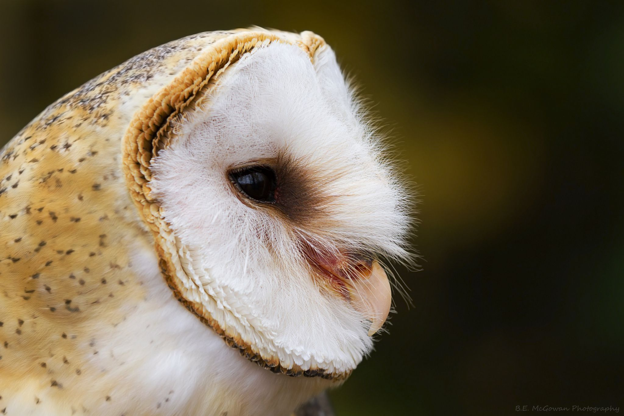 profile of Shadow the barn owl by Bryan McGowan